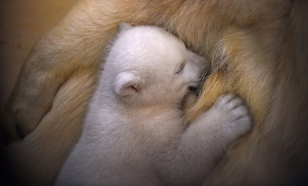 Новорожденный белый медведь в зоопарке Германии.