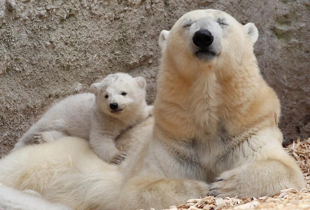 А это уже 14-недельный медвежонок в Мюнхене, Германия