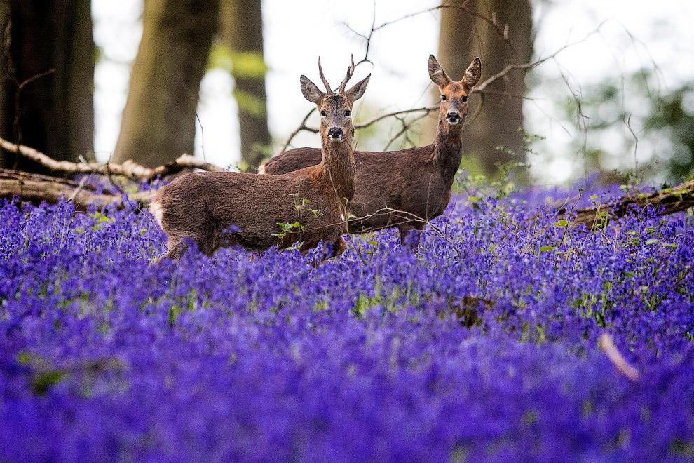 Олени и колокольчики на полях Хэмпшира, Англия