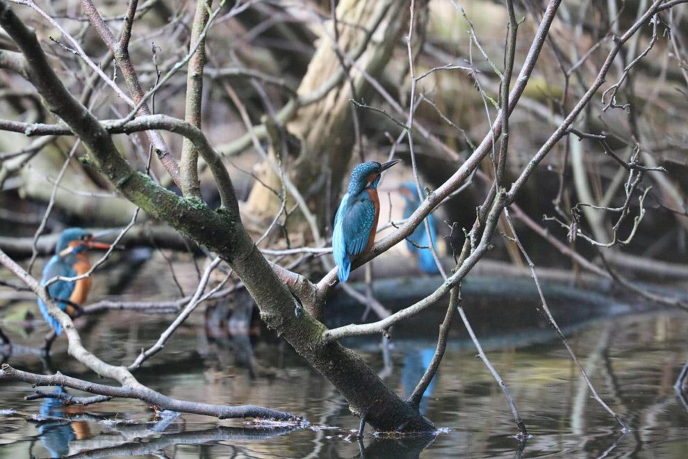 Зимородок – красивая птица немного крупнее воробья