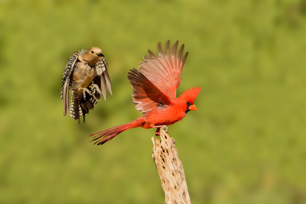 Дятел-мелане́рпес сгоняет красного кардинала