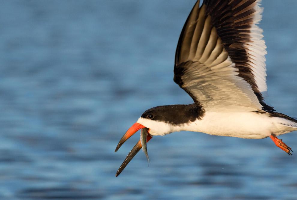 Морская птица водорез