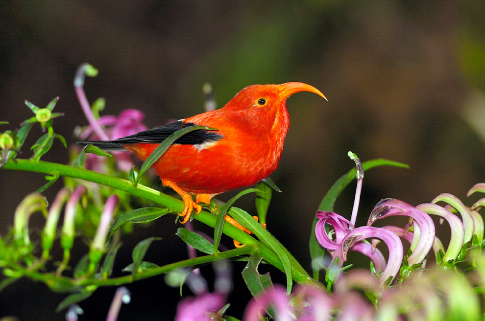 Hawaiian Birds Climate Change