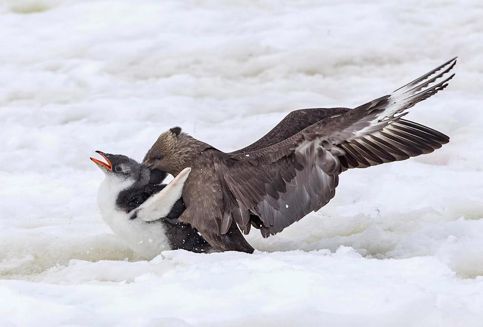 Морские птицы решили подоставать маленького пингвиненка