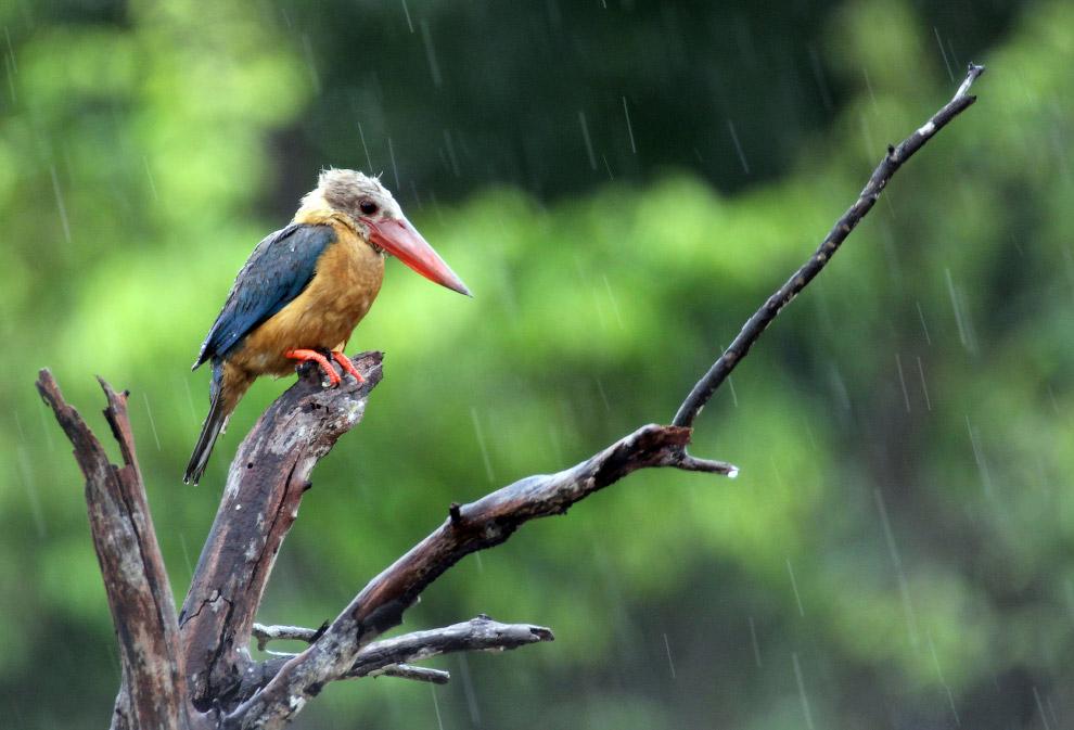 Аистоклювый зимородок