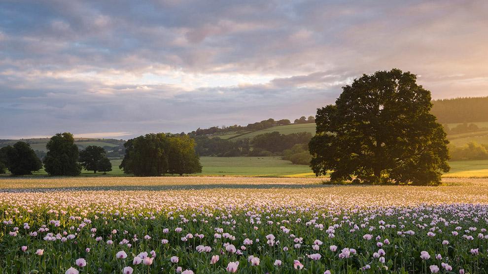 Маковое поле в графстве Дорсет, Англия