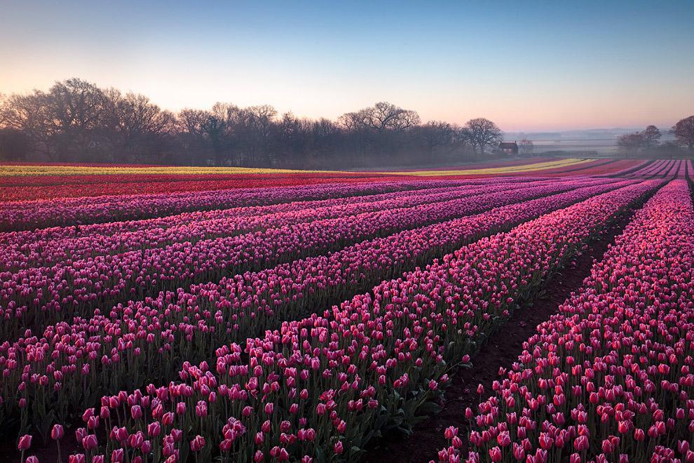Бесконечные цветочные поля в графстве Норфолк, Англия