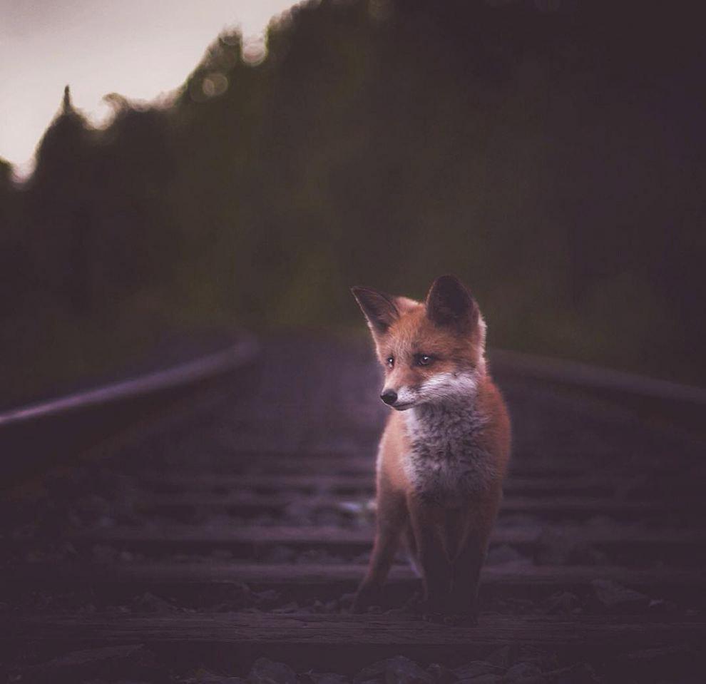 Задумчивая лиса