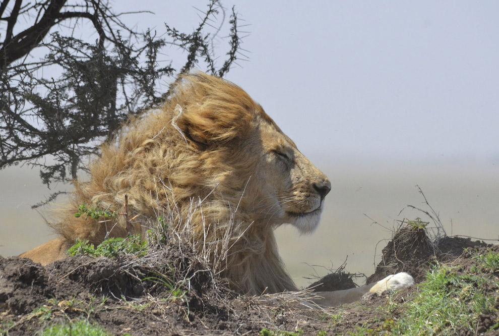 Спящий король в Серенгети.