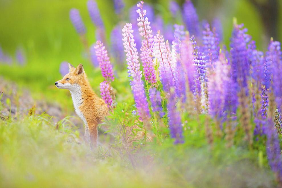 Цветочная лисица