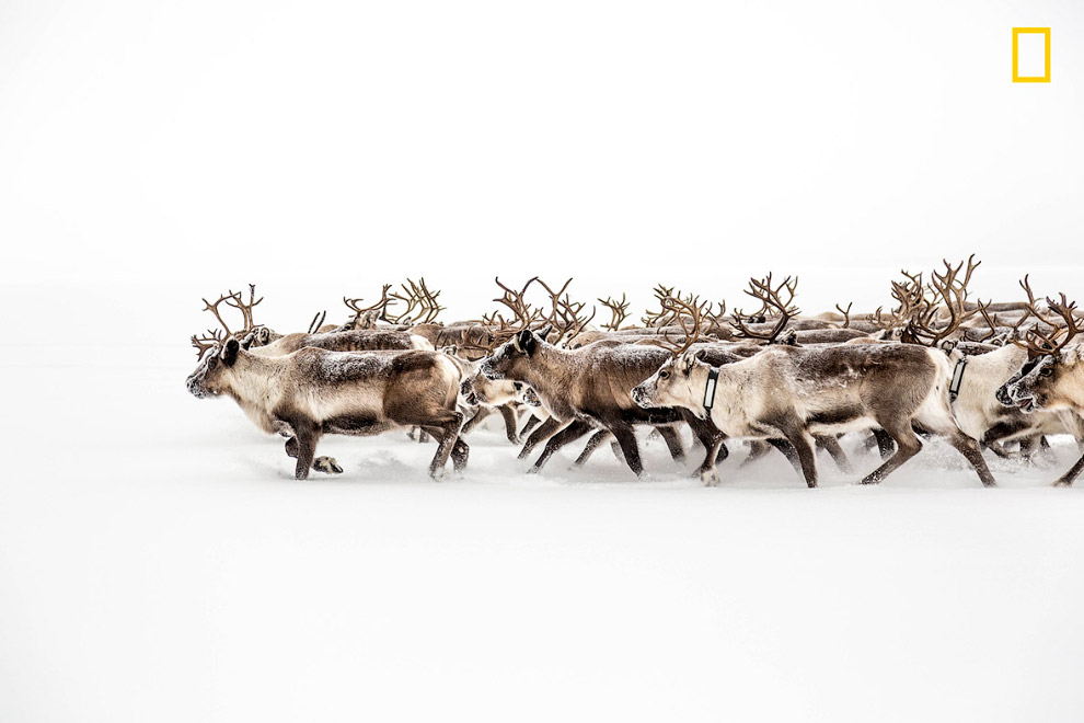 Стадо оленей на снегу, Швеция