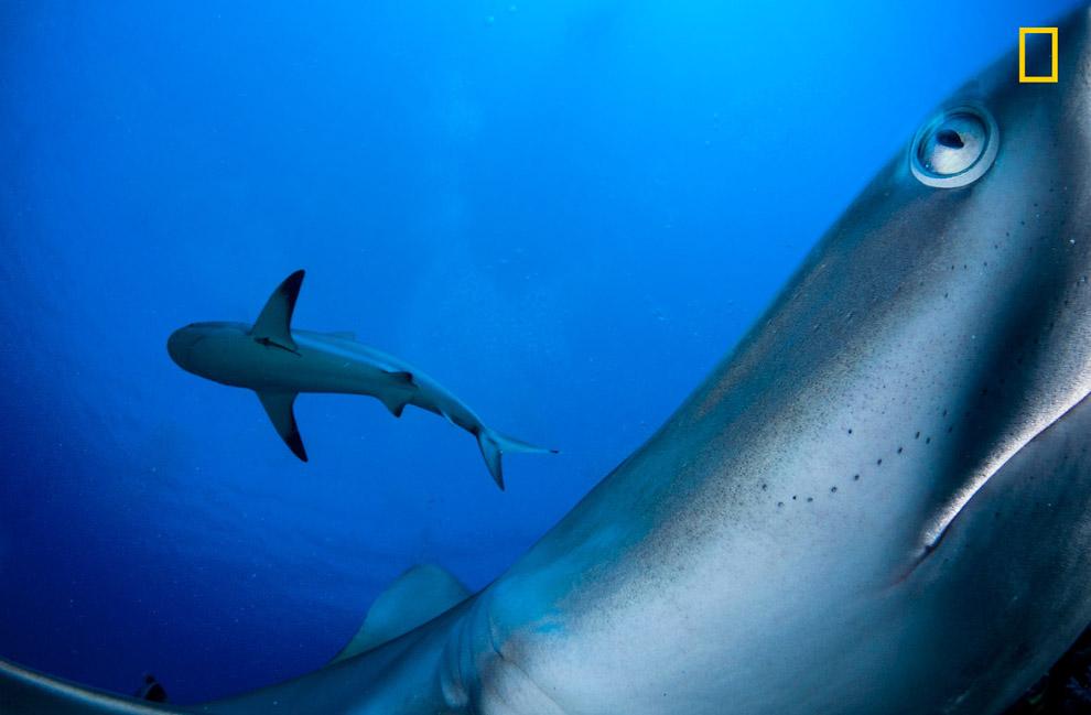 Карибские рифовые акулы