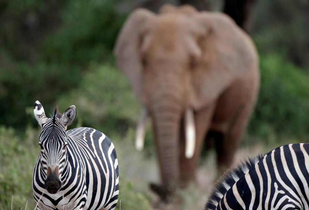 Зебры и слон