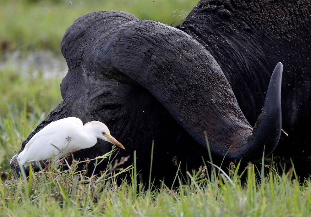 Египетская цапля и буйвол