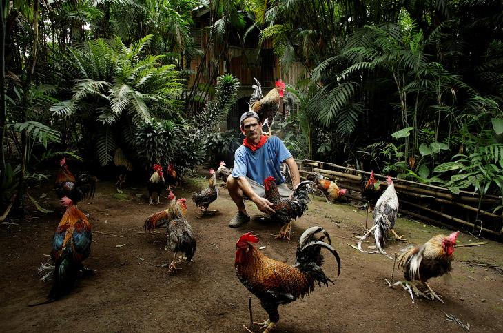 Необычные домашние животные: один день с петухом