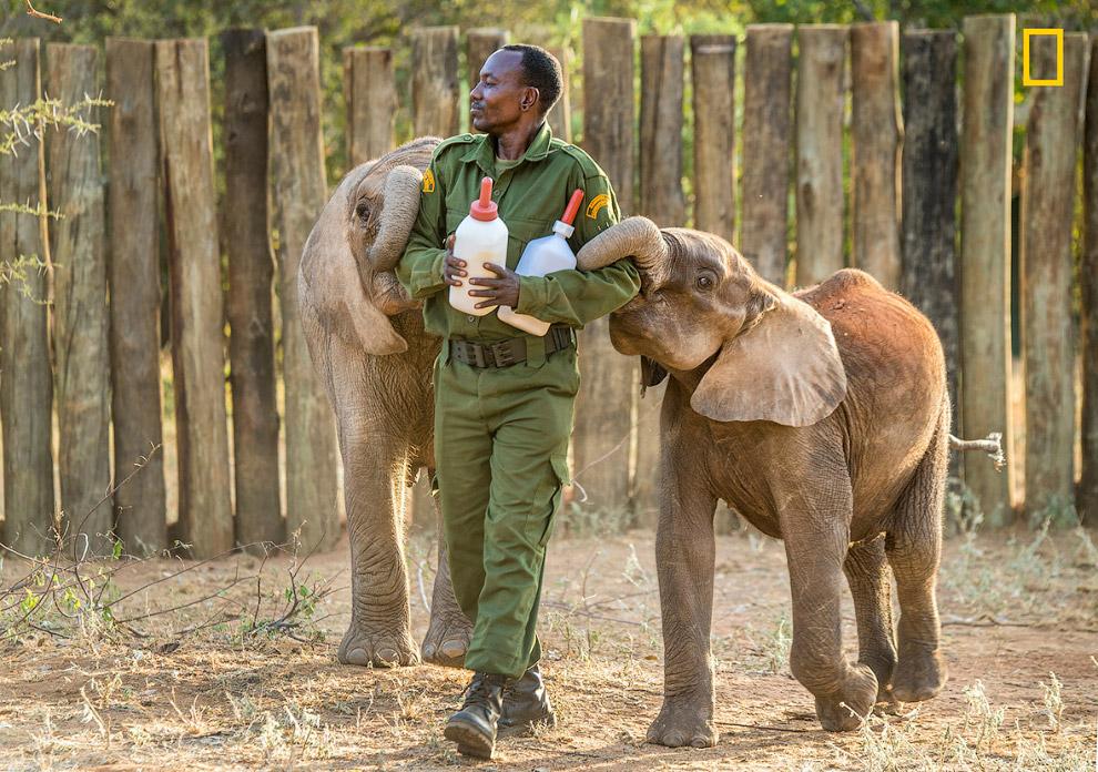 Экосистемные «инженеры»: слоны в Кении