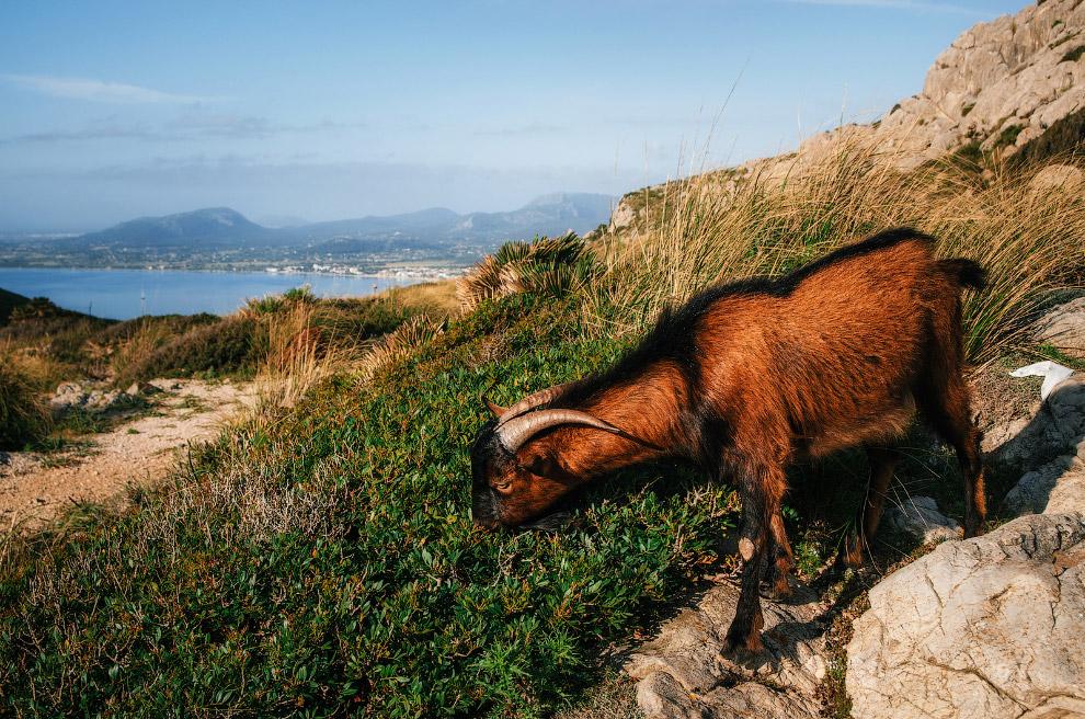 Горный козел жует свежую траву
