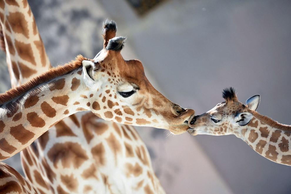 Жирафы в зоопарке в Ла-Флеше, Франция