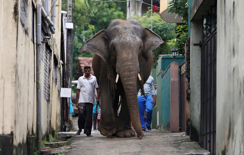 Хозяин и его большой слон в Коломбо, Шри-Ланка