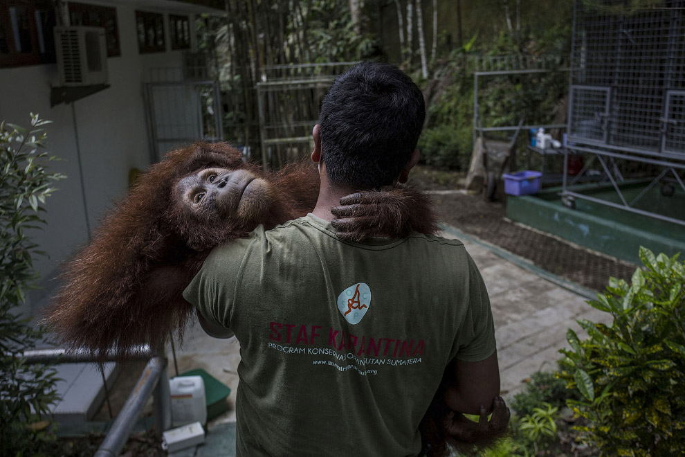 Орангутанг в реабилитационном центре на Суматре