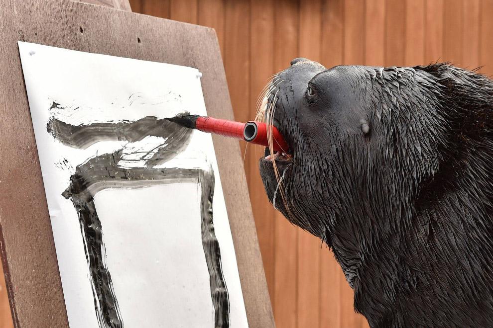 14-летний морской лев старается, рисует в океанариуме Иокогаме, Япония