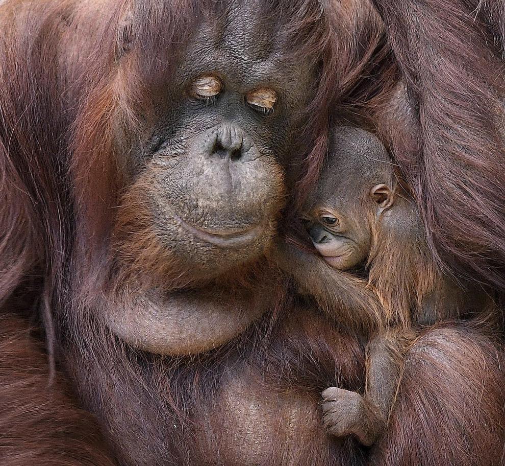Сім'я орангутангів в зоопарку в Брукфілд, США