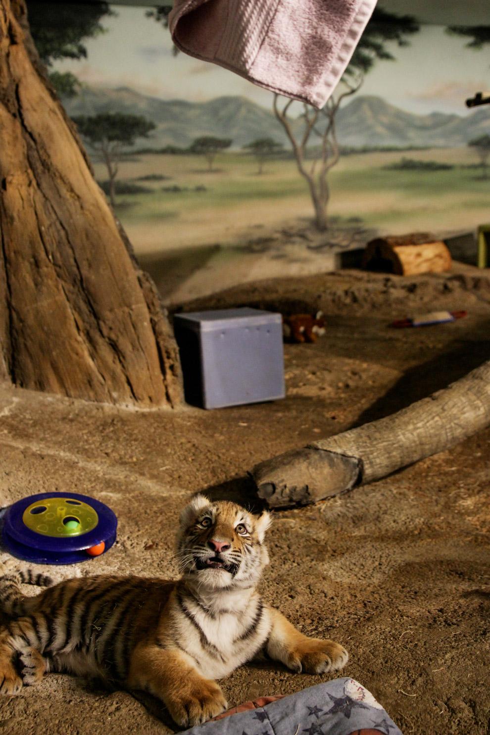 Амурський тигр у зоопарку в Мілуокі, США