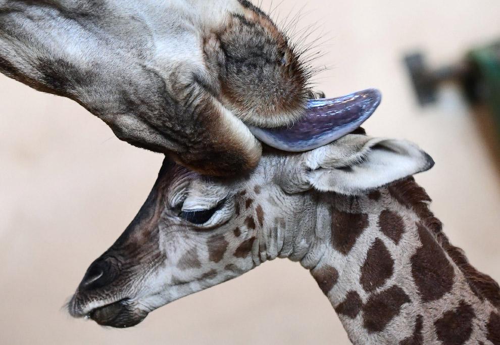 Старанний хлопчик.  Сім'я жирафів в Будапешті
