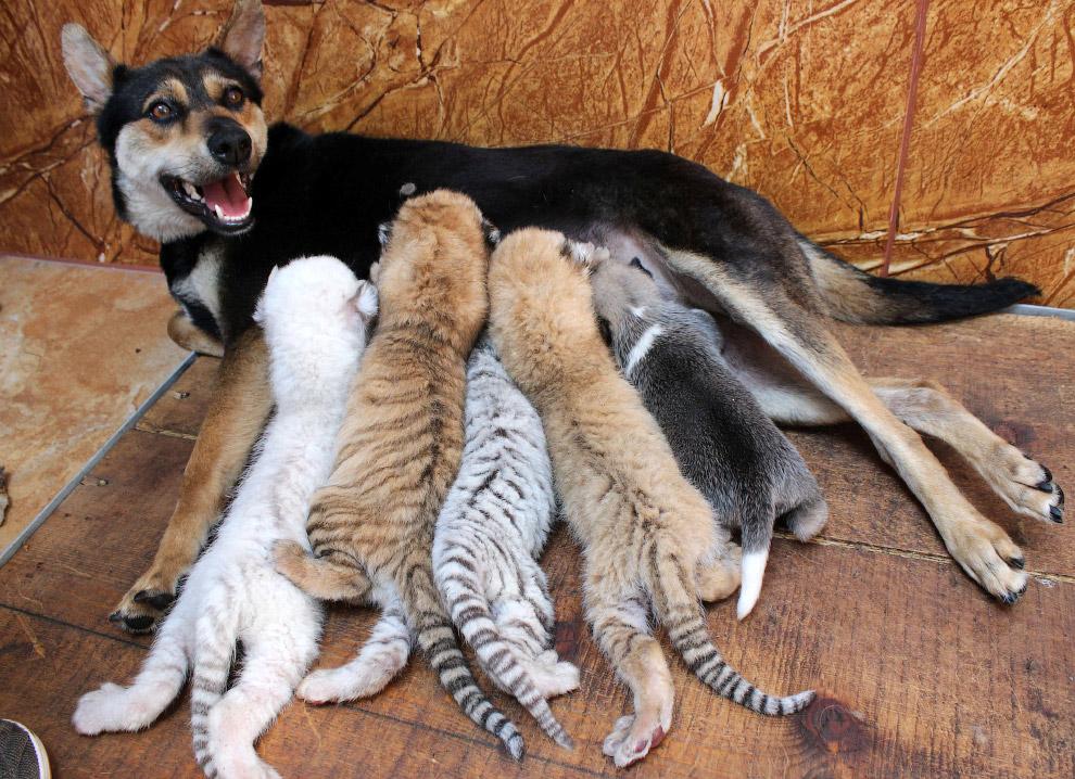Собка вигодовує 4 новонароджених тигренят в центрі захисту диких тварин провінція Шаньдун, Китай