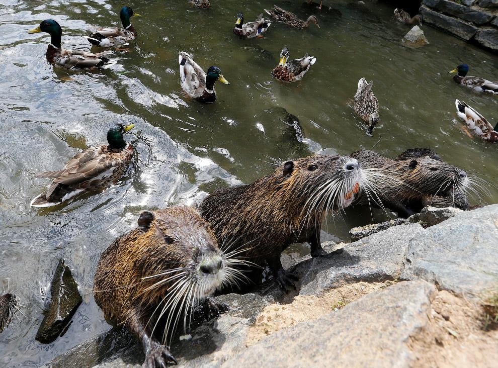 Нутрії випрошують їжу у берега річки у Франкфурті, Німеччина