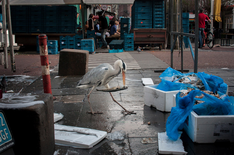 Серые цапли захватили Амстердам