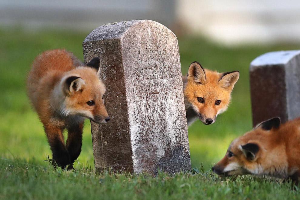 Лисы на кладбище