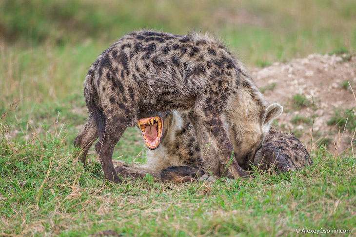 Матриархат в мире животных