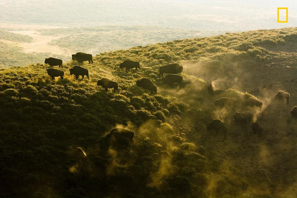 Бизоны в Национальном парке Йеллоустоун