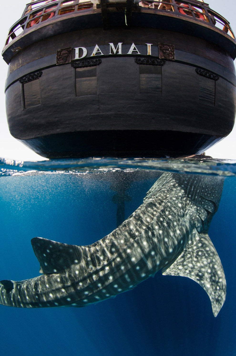 Акула и фактурный индонезийский парусник Дамай