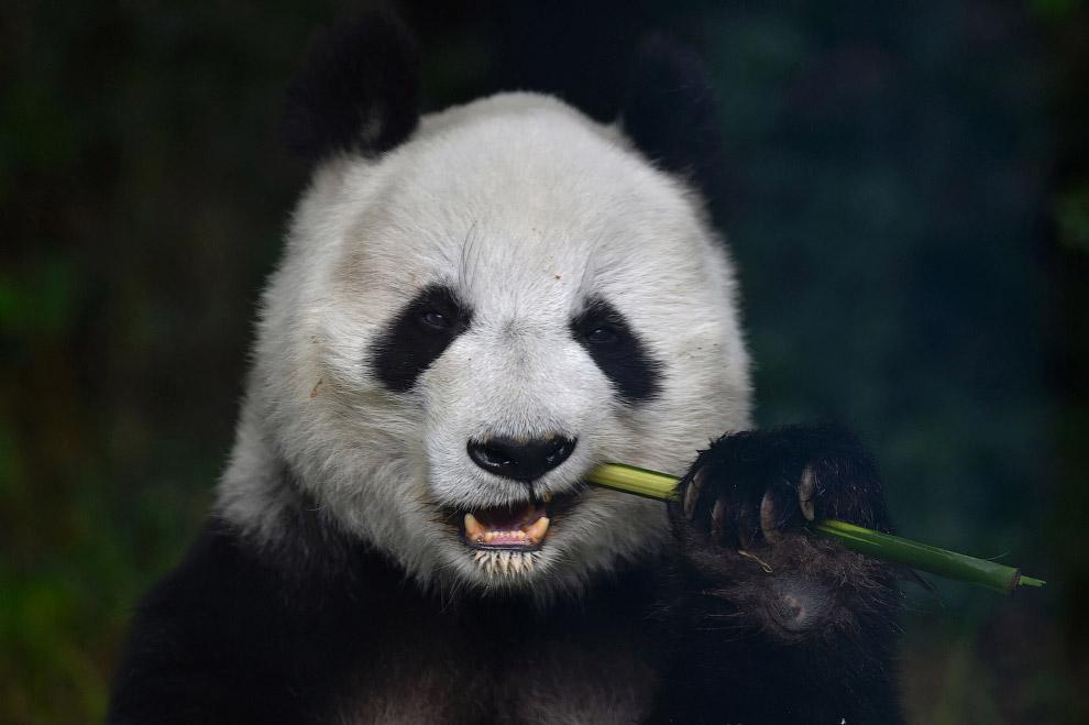 Панда. Большая банда
