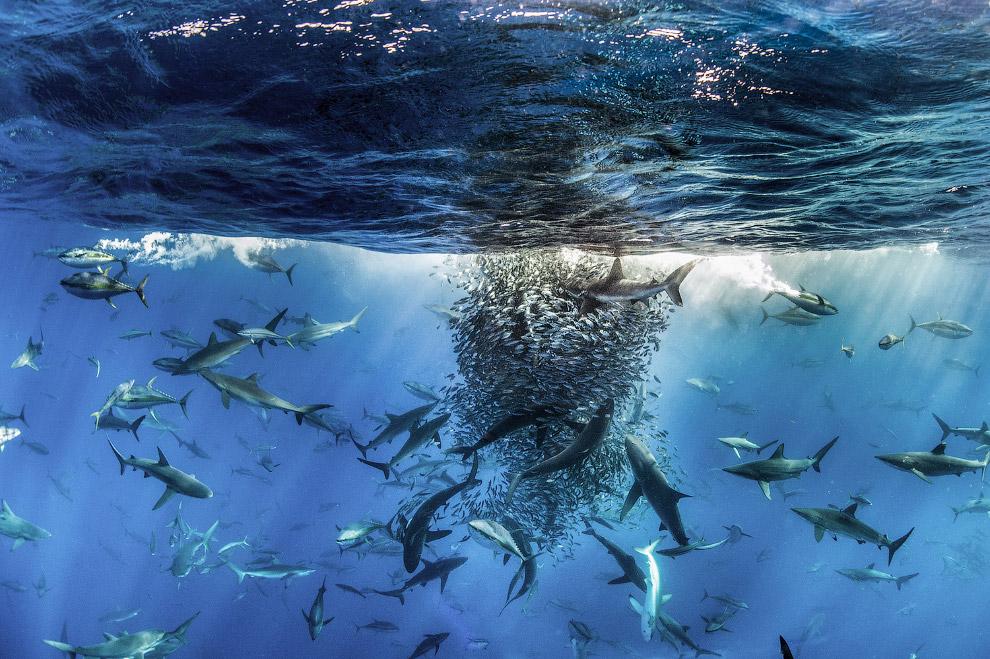Разные виды акул и тунцы действуют совместно, чтобы атаковать косяк рыбы