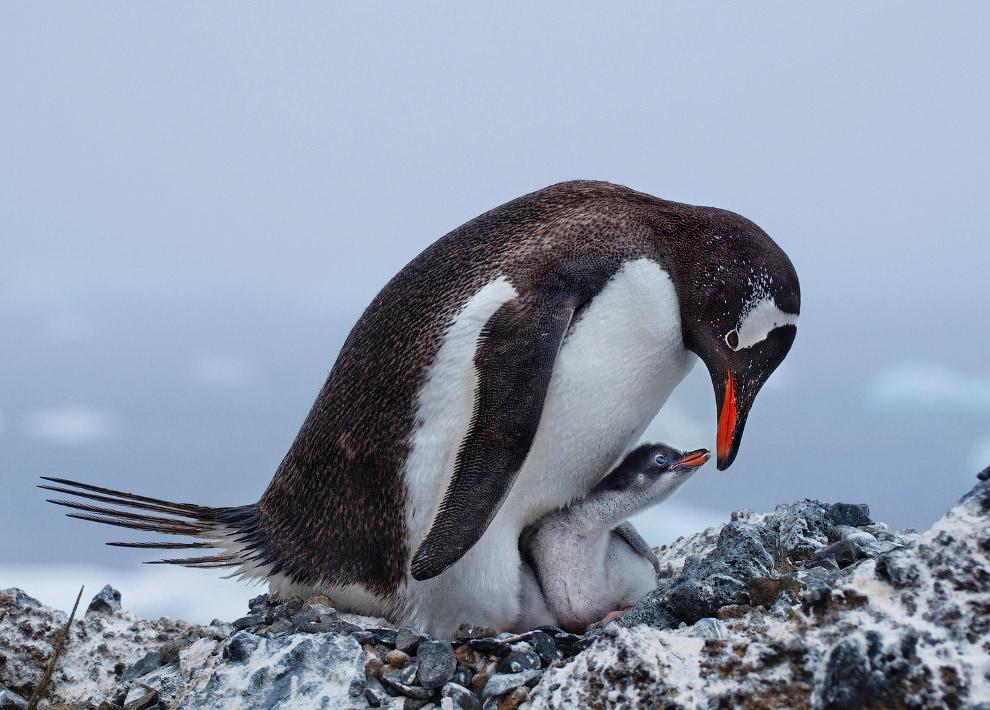 Папуанский пингвин и его птенец