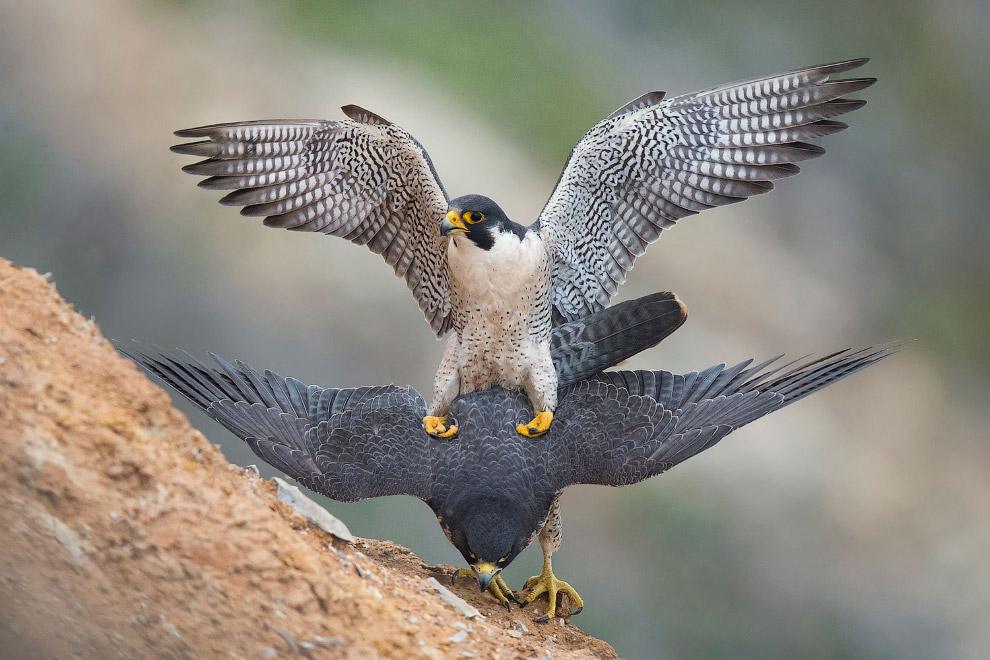 Хищная птица- сапсан
