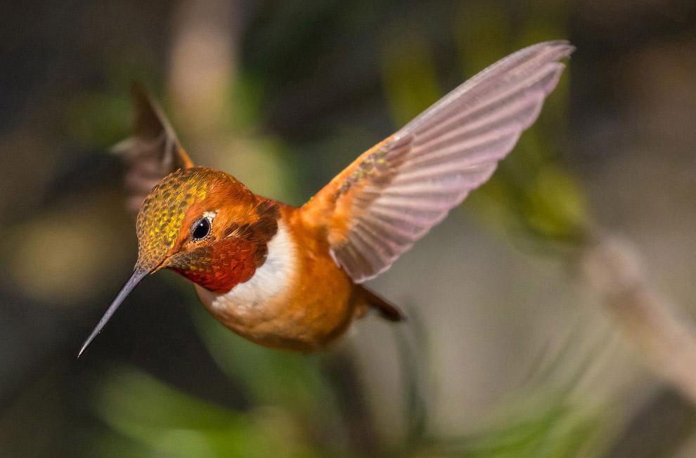 Охристый колибри