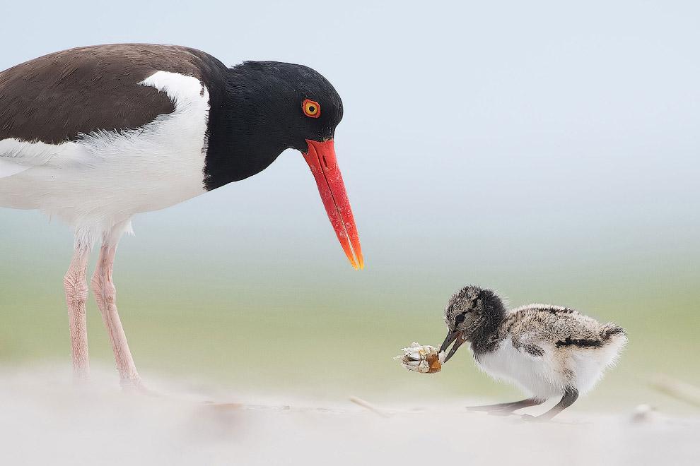Птицы из семейства куликов-сорок