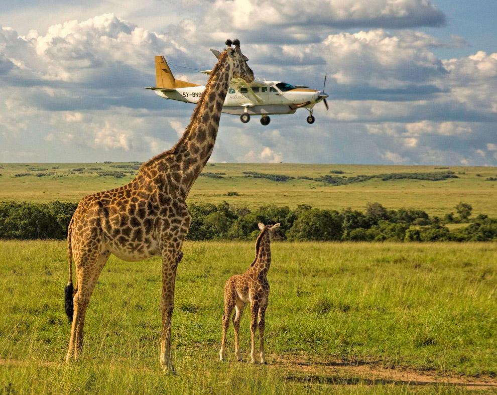 Жирафы в Масаи Мара