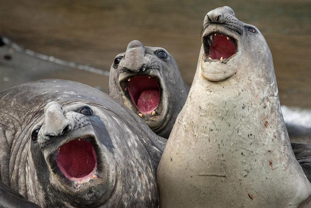Морские слоны на острове Южная Джорджия