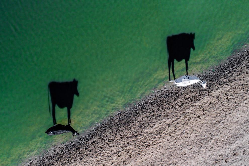 Коровы и тени
