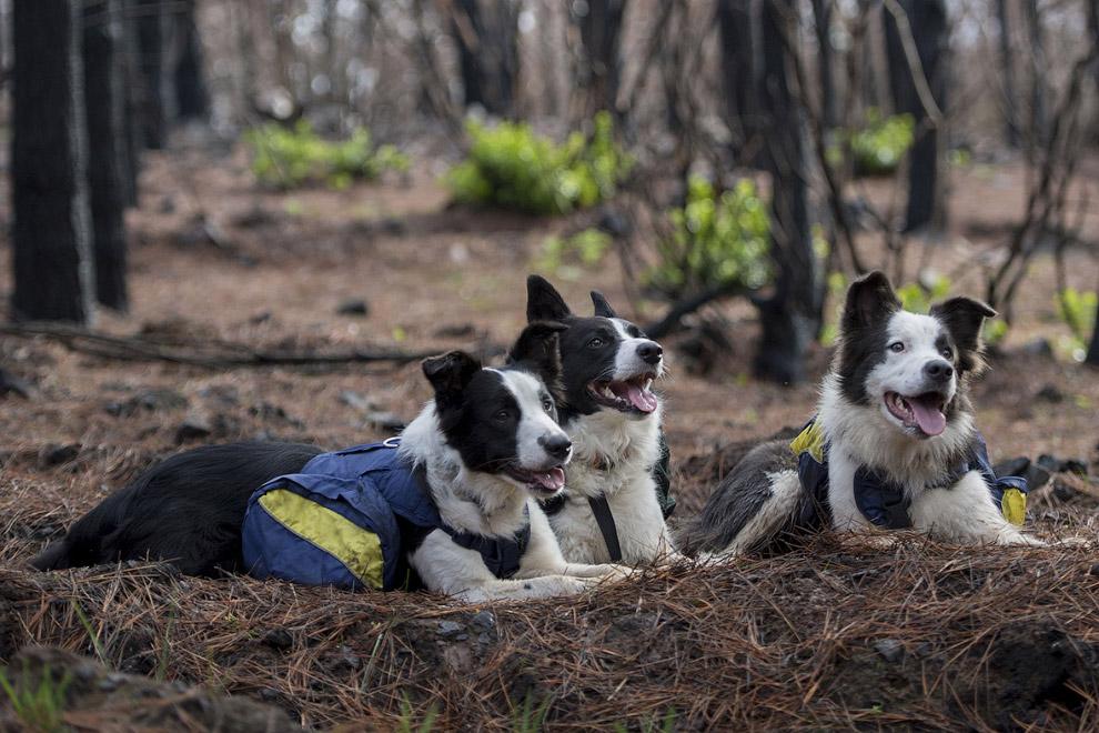 Как восстанавливают сгоревшие леса в Чили с помощью собак