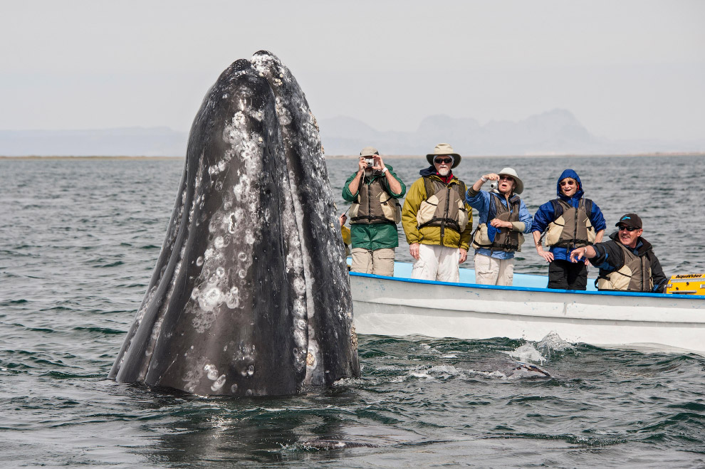 Ласковый серый кит