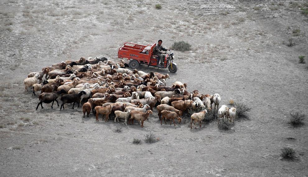 Овцы – необычные зрители ралли «Шёлковый путь», Китай
