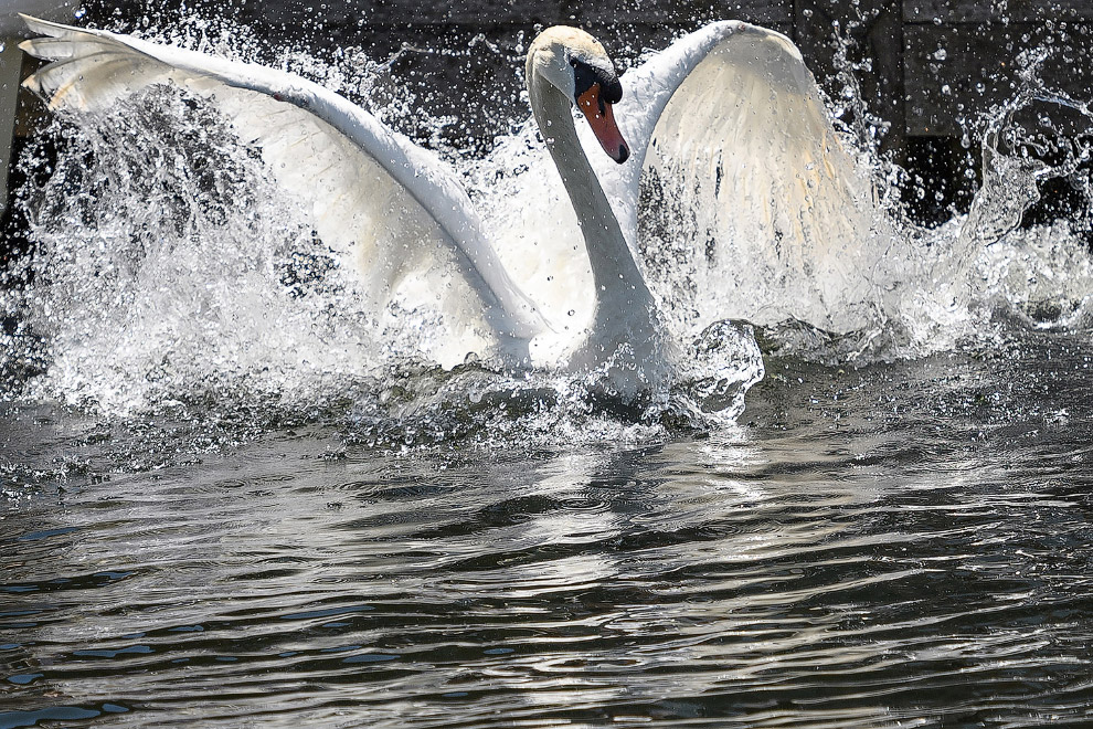 Перепись лебедей на Темзе