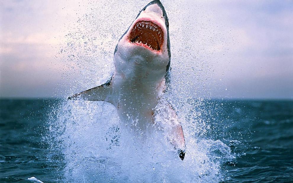 Большие белые акулы