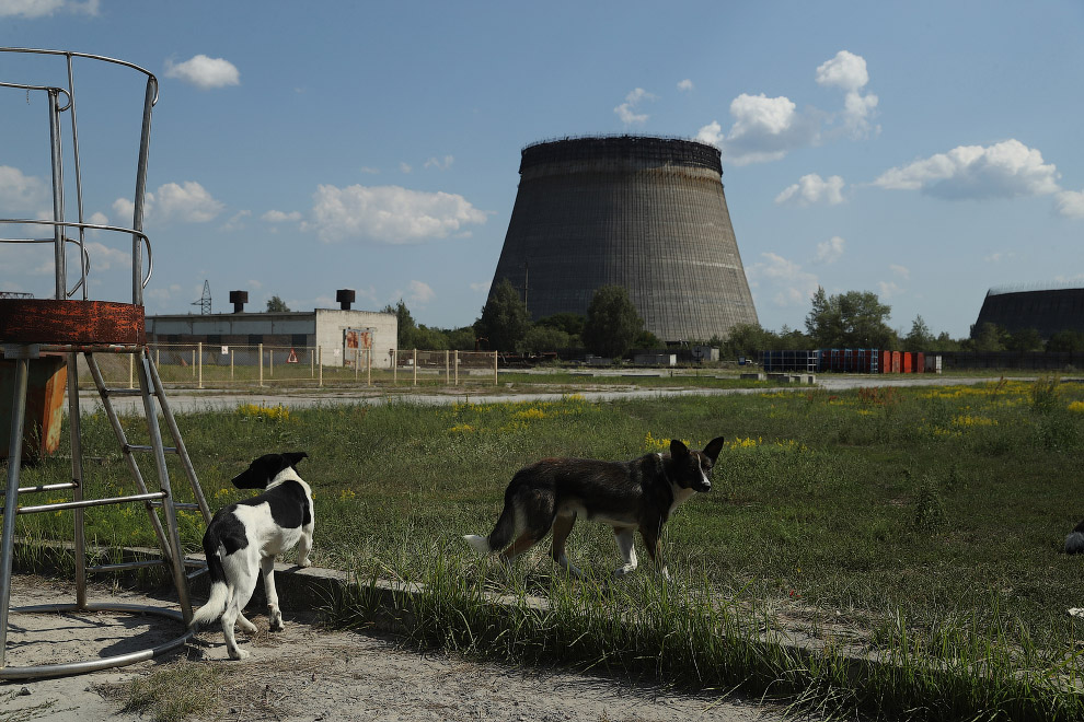 Собаки на фоне заброшенной после аварии Чернобыльской АЭС